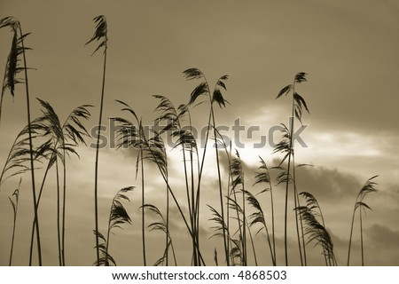 Silhouette of reed plants