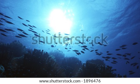 Silhouette of reef fish over a shallow reef in the Cayman Islands, Caribbean
