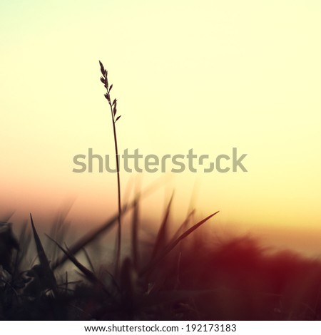 silhouette of slender blade of grass on sunrise background