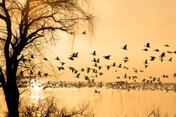 Silhouette of snow geese on foggy lake at sunrise during spring migration in central Pennsylvania.