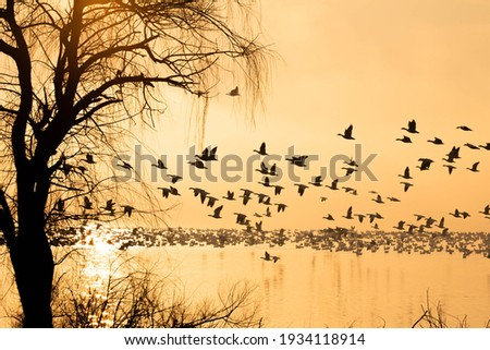 Silhouette of snow geese on foggy lake at sunrise during spring migration in central Pennsylvania. Stock fotó ©