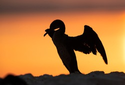 Silhouette of Socotra cormorant and yellowish hue during sunrise, Bahrain