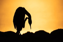 Silhouette of Socotra cormorant preening during sunrise at Busaiteen coast of Bahrain