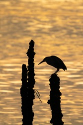Silhouette of Striated heron standing on the tree.