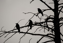 Silhouette of three crows in a dead tree