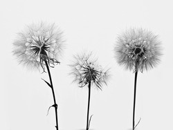 silhouette of three flowers dandelions
