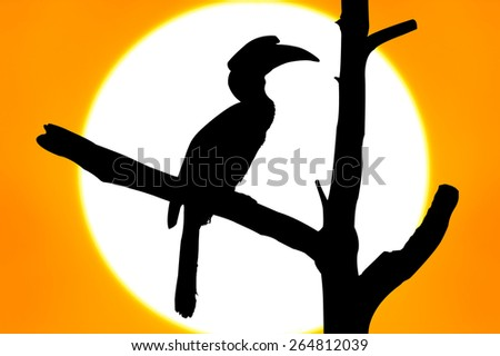 silhouette of Wreathed Hornbill stand on the branch on big sunset background