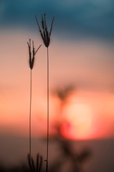 Silhouette photography of grass against a golden warm sunset light. Simplistic, yet iconic in grace and elegant detail of grass. Sunsets and Life are always magical in it's efforts to remain.
