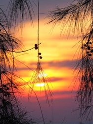 Silhouette pine tree branches and cones on the colourful  sky background on a sunset moment