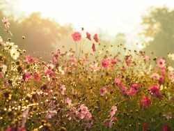 Silhouette pink cosmos flower in the field with bokeh over sunrise sky background in the morning, vintage filter effect.