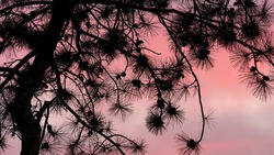 Silhouette view of pine tree and cones at sunset