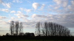 Silhouetted bare poplars on sky with light clouds