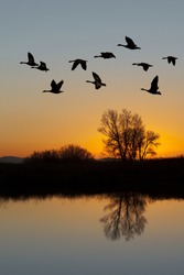 Silhouetted Canadian Geese flying at sundown over quiet Winter pond on wildlife refuge, San Joaquin Valley, California