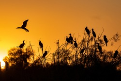 silhouetted cormorants at sunrise roosting in a tree