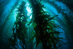 Silhouetted giant kelp, Macrocystis pyrifera, grows in the cold eastern Pacific waters that flow along the California coast. Kelp forests support a surprising and diverse array of marine biodiversity.