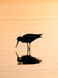Silhouetted of an Oystercatcher on the coast of the Galápagos Islands, Ecuador