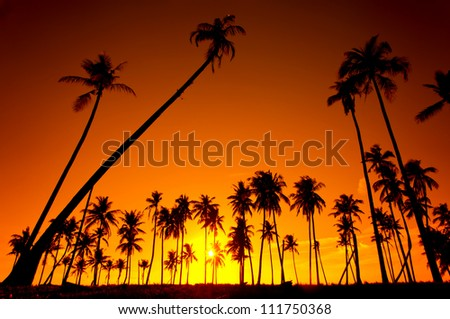 Silhouetted of coconut tree during sunset
