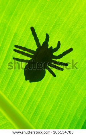 Silhouetted of tarantula crawling on green leaf