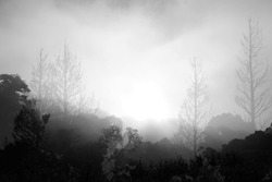 Silhouetted  trees and  fog in the morning,concept of scary crime scene of horror or thriller movies,Halloween theme,black and white style