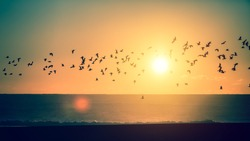 Silhouettes flock of birds over the Atlantic ocean during sunset. Seagulls .