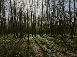 Silhouettes of bare trees and their shadow in a forst near Ghent, Flanders, Belgium