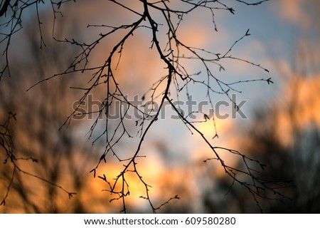Stock Photo Silhouettes of branches of a tree in the dawn sun Sunrise nature. Trees silhouettes against  Sunrise background. tree silhouettes in morning mood. silhouettes of winter bare branches