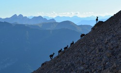 Silhouettes of Chamoises in the Dolomites. High mountains curious animals.