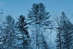 Silhouettes of coniferous and deciduous trees. Forest without leaves. Tinted blue photo.