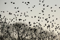 Silhouettes of crows flying over trees.