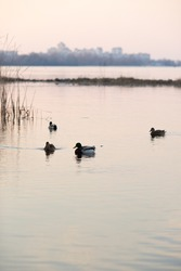 Silhouettes of ducks. Ducks swim in the pond in the evening twilight.