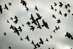 Silhouettes of flying pigeons against sky