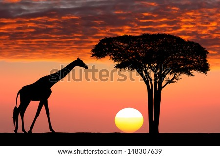 Silhouettes of giraffe and acacia tree on the beautiful sunset background in the Serengeti Park. Tanzania. Africa.