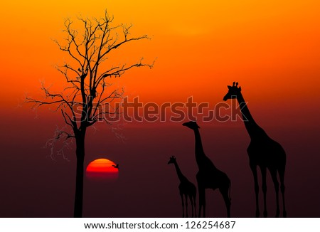 silhouettes of Giraffes and dead tree against sunset background
