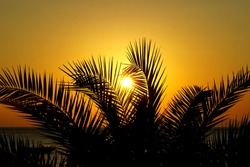 Silhouettes of long palm tree branches through which the sun shines during the sundown