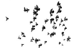 Silhouettes of pigeons. Many birds flying in the sky. Motion blur