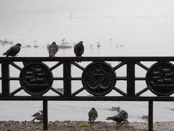 Silhouettes of pigeons on the iron fence of the embankment in cloudy rainy weather in Petrozavosdk, Republic of Karelia