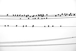 Silhouettes of pigeons sitting on electric wire