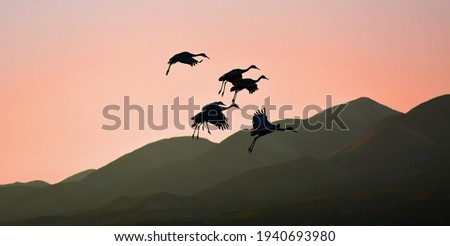 silhouettes of sandhill cranes against a mountain backdrop at  sunset in winter coming in to land in a corn  field in the bosque del apache national wildlife refuge near socorro, new mexico Foto stock ©