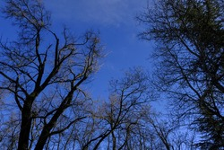 silhouettes of trees without leaves across blue sky and sunset lights. natural background from below