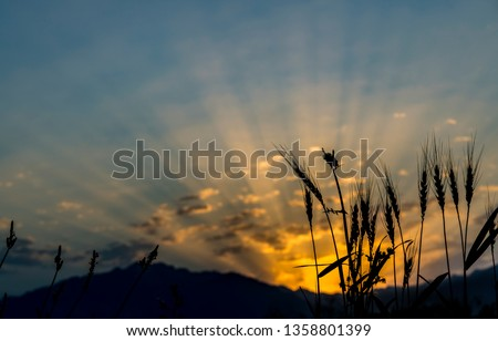 Silhouettes of wheat ears on background of  sunrise above mountains, colorful sunbeams and clouds Image depicts forecast of  weather and  advanced agriculture in highlands  #1358801399