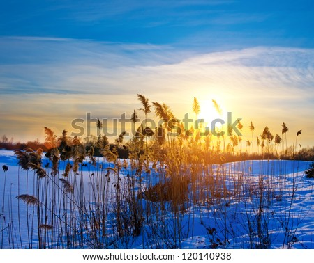 Silhouettes of wild vegetation at the sunset light in winter - stock photo