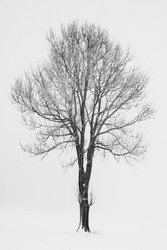 Silhuette of a single tree without leaves in the snow on a foggy day in the Rhoen mountains near Fulda