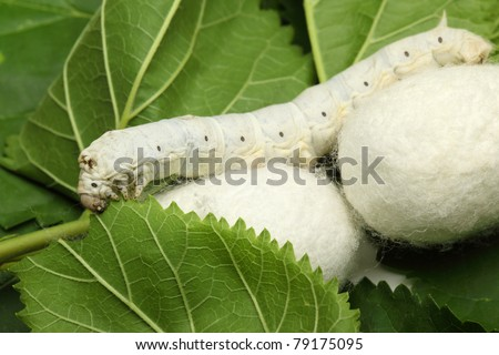 Silk Cocoon Silk Cocoons With Silk Worm on