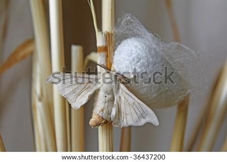 Silk Moth on Cocoon