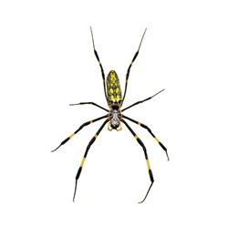 Silk Spider isolated on white background.
