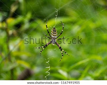 silk spider - Nephila clavata - is a waiting for its prey in spiderweb. #1167491905