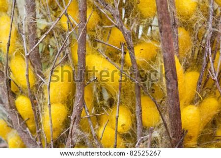 Silk worms nest on dry twigs