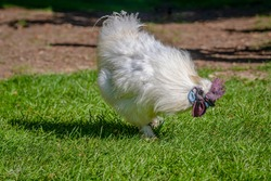 Silkie, also known as silky or Chinese silk chicken
