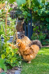 Silkie - breed poultry with fluffy and black leather. Silkie hens and rooster looking for food in garden. Selective focus image.