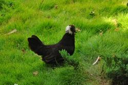 silky hen in a lawn.